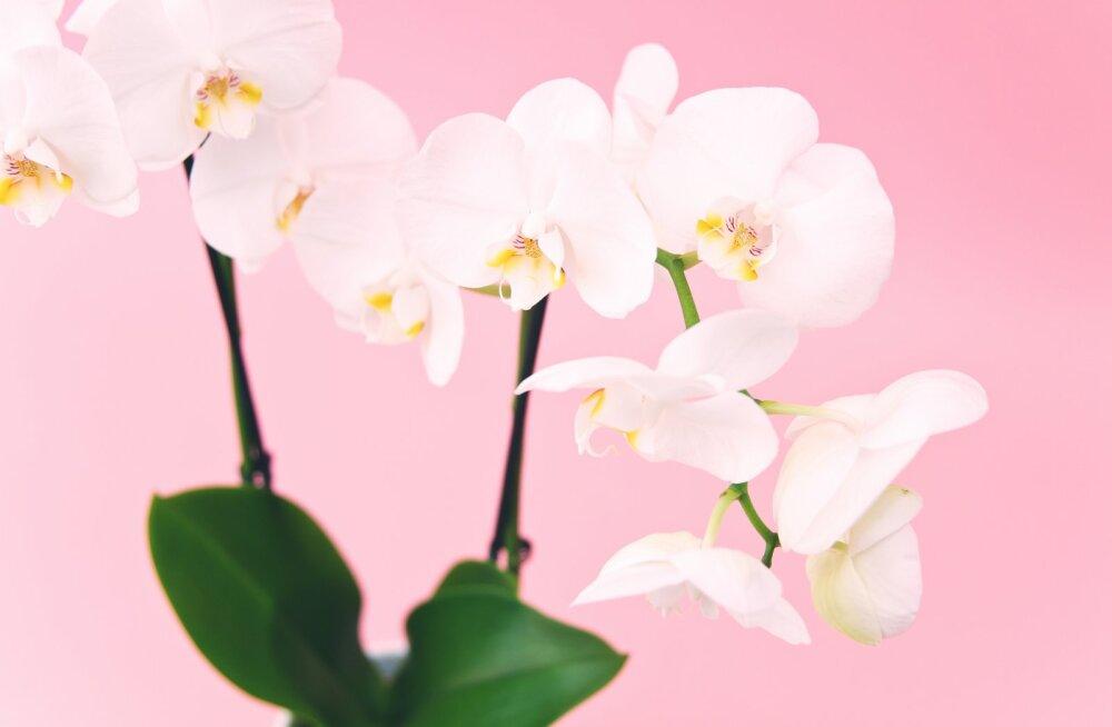 FOTOVÕISTLUS | Jaga meiega pilti oma kaunist orhideest ja võida lahe auhind!