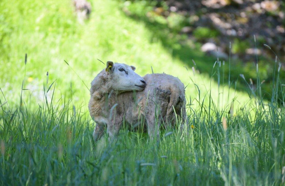 JUHTKIRI | Loomaaia lammas, Eesti uus vapiloom