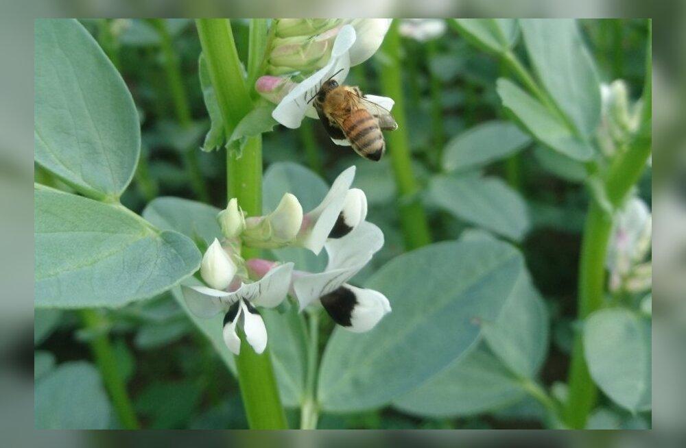 Põldoa õitseajal oli külm ja vihmane, sestap lendles vähe mesilasi ning tolmlemine kannatas.