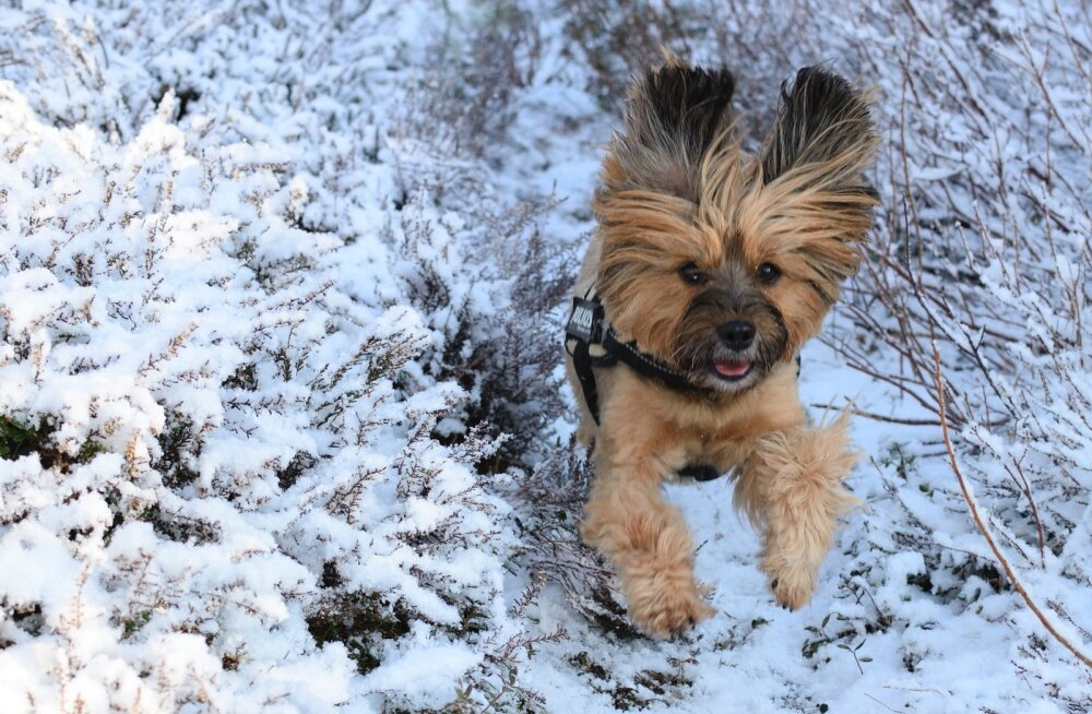 Kuidas kaitsta koera külma eest?
