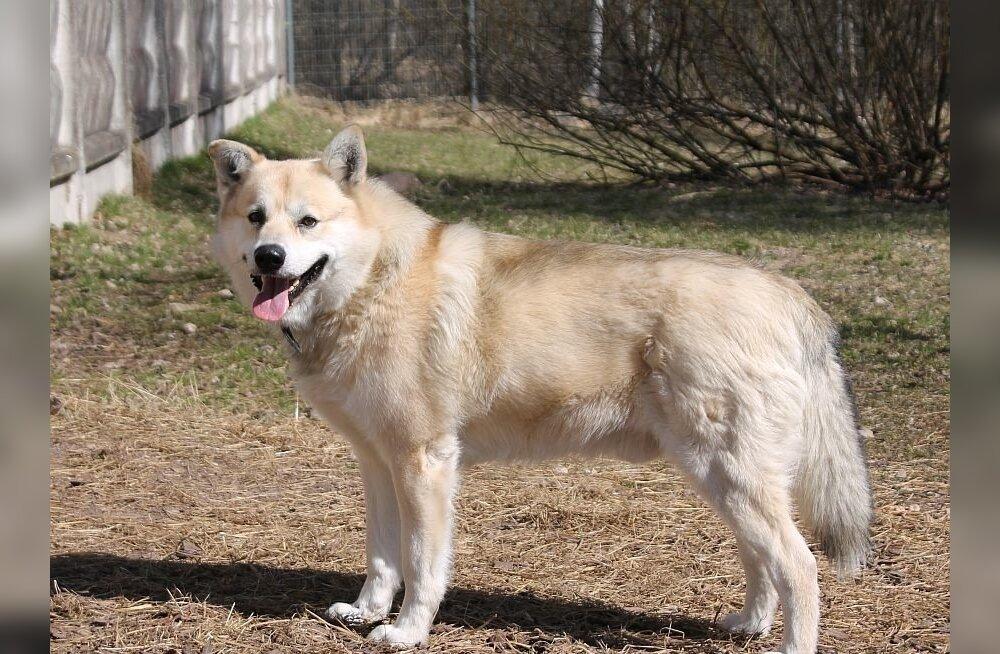 Selle 4-aastase koera nimi on Reku ja ta ootab oma tulevast peremeest Tartu koduta loomade varjupaigas, kuna eelmine omanik siirdus manalateele.Helista ja lepi Rekuga kohtumine kokku:tel 5333 9272.