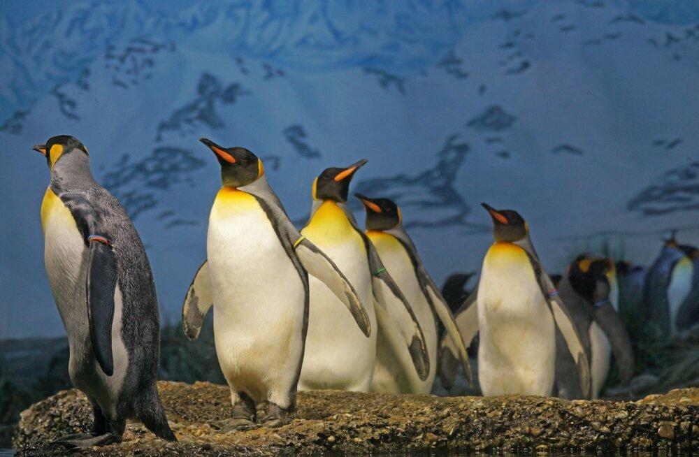 Ülemaailmne pingviinide päev: 10 pingviiniliiki, kes on väljasuremisohus
