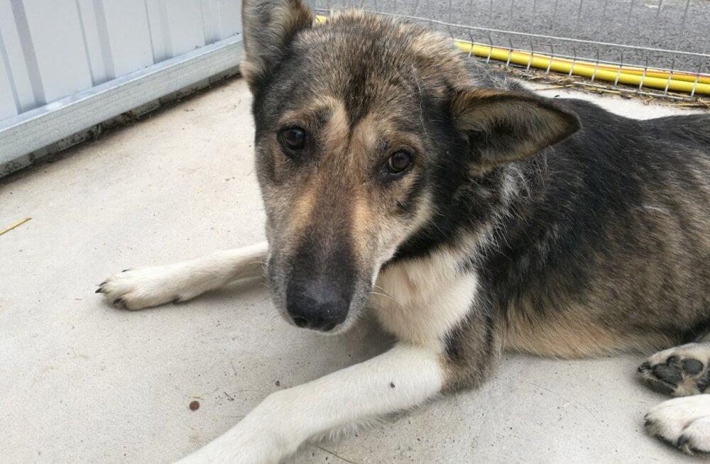 Uskumatu lugu | aastavahetusel Pääskülas kaduma läinud, 8 kuud metsas veetnud ja surnuks tunnistatud koer leidis oma kodutee