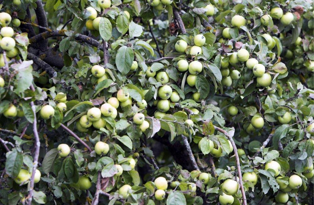 Õunapuu.