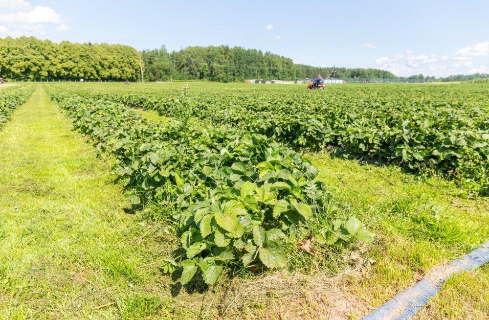 Põlvamaa maasikakasvatustest avastati 29 võõrtöölist, kel polnud ametlikult õigust siin viibida