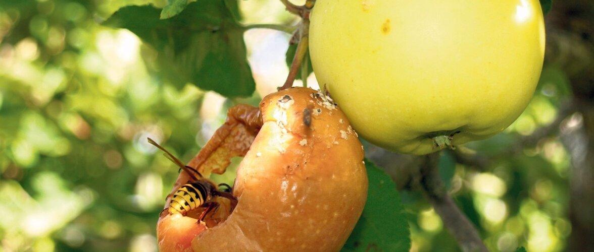 Mädanevate õunte puhul on kurja juureks puuviljamädaniku seen.