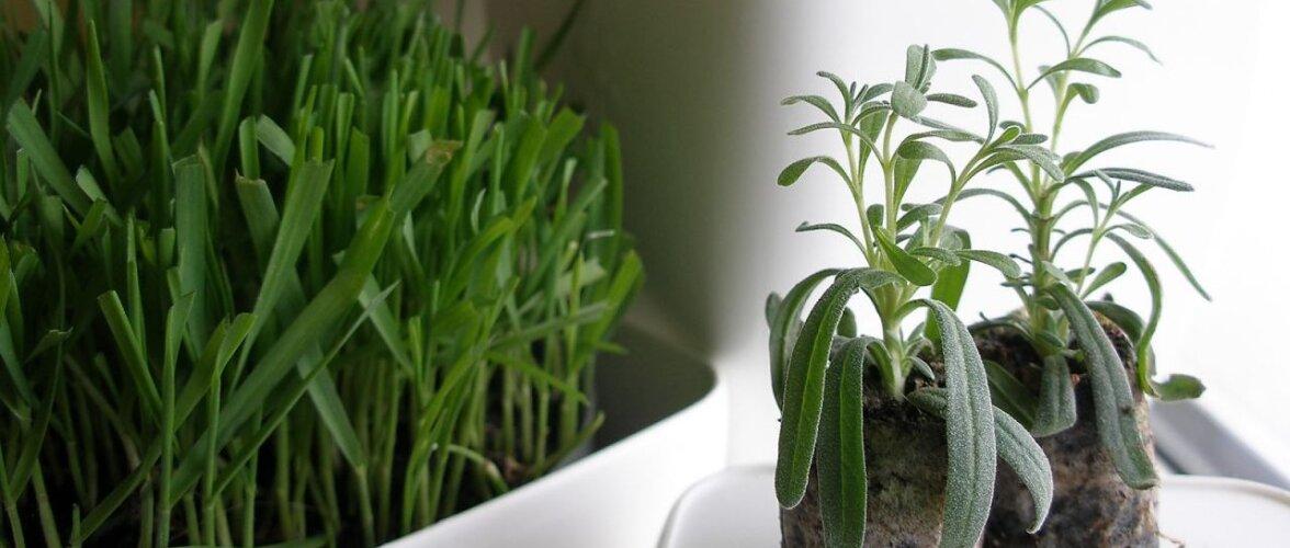 Vaata, milliseid ürte tasub seemnest külvata ja milliste puhul on noortaimed mõistlik valik?