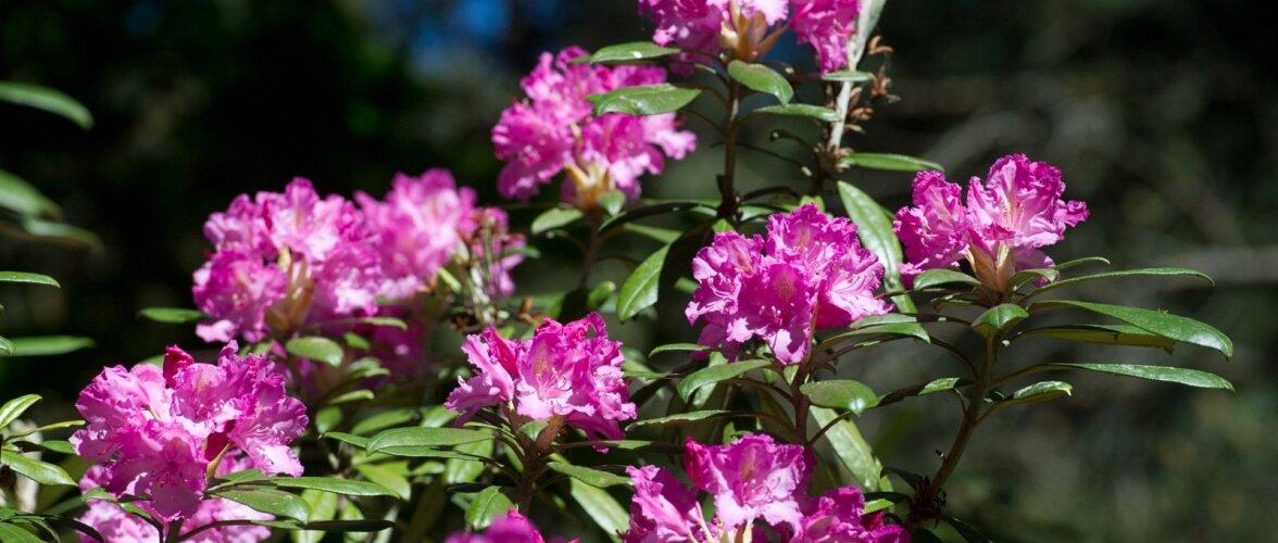 Sirelid,rododendronid ja sõnajalad