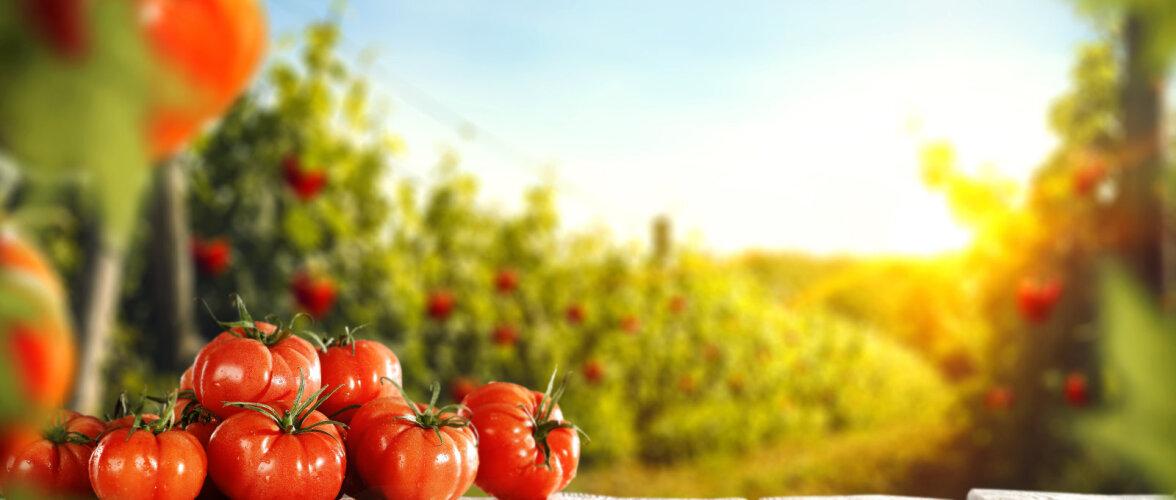 Nipp, kuidas valmistada tomatile kasulik lahus ehk doping