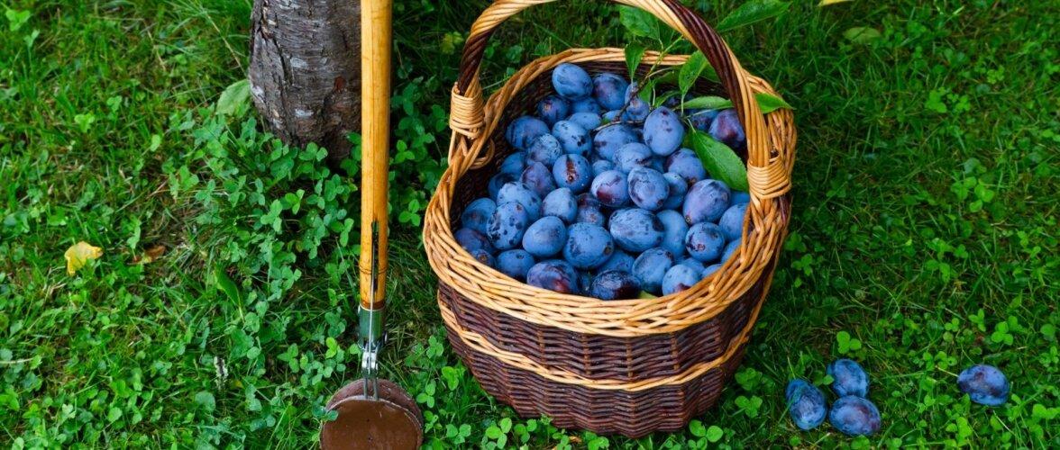 Rikkaliku ploomisaagi andmiseks peavad puud hea tervise juures olema.