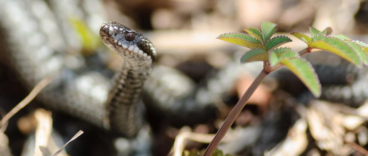 Loodusega silmitsi | Nõrganärvilistel mitte vaadata! Fotograafile poseerivad maod