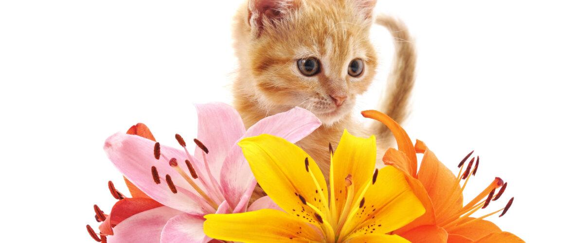 KASULIK TEADA | See armastatud lõikelill tapab kassi