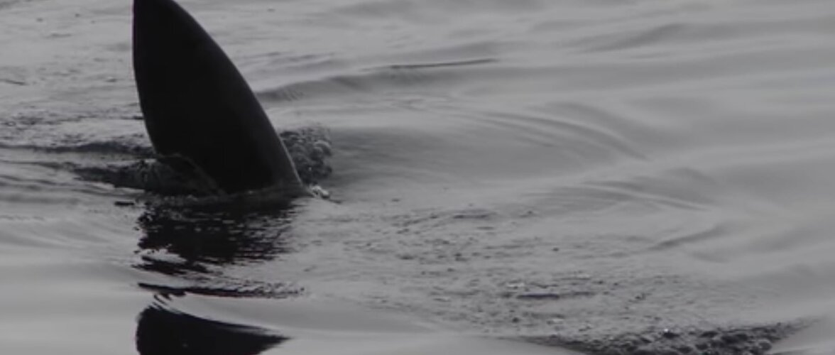 Ülipõnev VIDEO | Kõige suuremad ja ohtlikumad haid maailmas — sellistega koos lainetes sulistada vist väga ei sooviks...