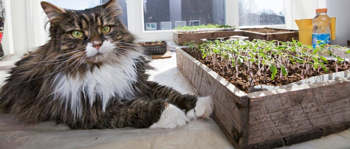 Kõige parem asukoht tomatile on lõunasse või kagusse avanev aknalaud.