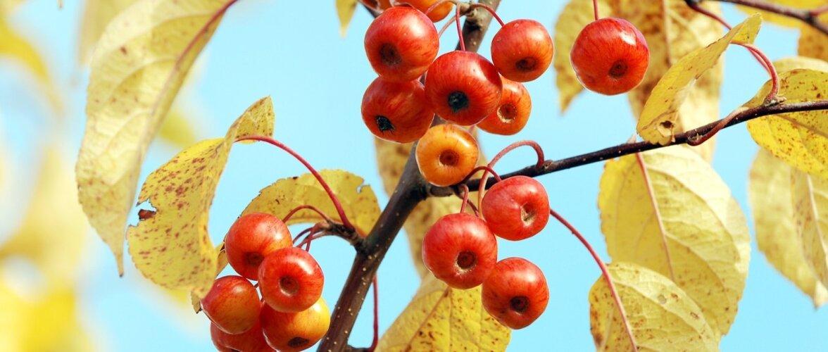 Mariõunapuu - süüa ei kõlba, aga ilus on küll