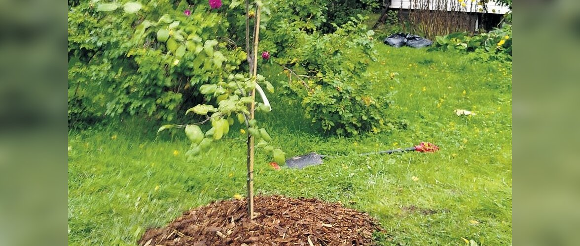 Hooldatud alusega puu kaunistab aeda.