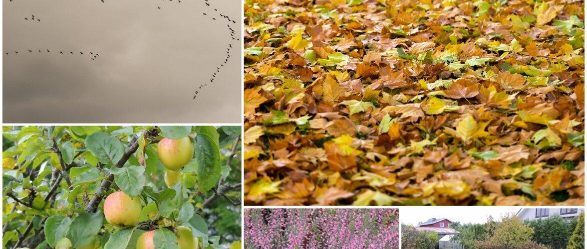 AIAHOOLIK   Kollane kolletamispäev lubab lühikest ja käredat talve ning varajast kevadet
