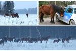 """Delfi TV """"Sensor"""": Külaelanikud on kimbatuses: metsikud hobused on juba aastaid naabrite põldusid ja hoove rüüstanud"""