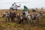 Jamali-Neenetsimaal plaanitakse 100 000 põhjapõdra tapmist katkuepideemia vältimiseks