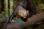 Unusta dingo, vali tuhkur: Hollandi teadlased said valmis põneva lemmikloomaks sobivuse edetabeli