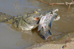 Niiluse krokodillid Florida rannal. Kas tõesti ujusid nad üle Atlandi?