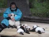 Unistuste tööpakkumine: hiidpandade keskus otsib muljetavaldava aastapalga eest karukaisutajat