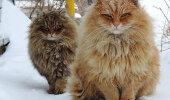 GALERII: Uskumatult suured kassid, keda Sa iga päev ei kohta