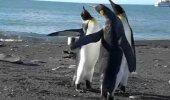VIDEO: Kuidas pingviinid kaklevad