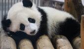 IMEARMAS VIDEO | Vaata, kuidas nunnu panda mängib esimest korda lumega
