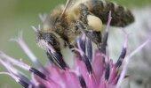 Mesilane võib õietolmuga kaasa saada ka surmavaid pestitsiidijääke.
