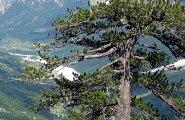 Euroopa vanim puu kasvab Kreekas