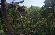 Merikotkapoeg tõusis pärast pikka toiduga meelitamist pesapuult lendu