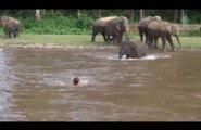 ВИДЕО: Слоненок спас своего тонущего дрессировщика