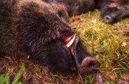 Metssigade arvukuse vähendamine Paljassaares