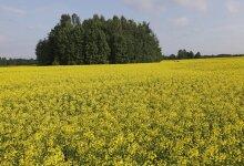 Rapsi pestitsiidid hävitavad tolmeldajaid
