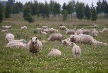 Muhulane hakkas hoiuala pärast lambaid pidama