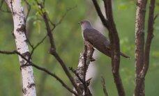 Eesti käod kukuvad rõõmsameelselt mažooris