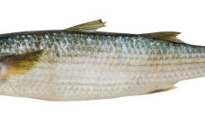 Maitseelamus: Eluohtlik kalaroog egiptlaste toidulaual