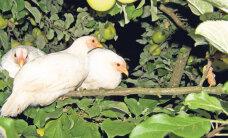 Õuna- ning pirnisaak tuleb keskpärane