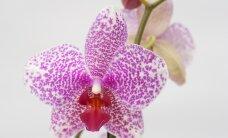 KASU ASEMEL KAHJU: Ümberkukkuva orhidee lehti lõigatakse ära