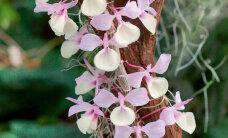 Dendroobium – kaunis ja kasulik orhidee