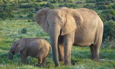 Aafrika: iga saja elusa elevandi kohta leiab 12 salaküttide mõrvatut