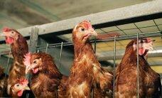 Balticovo улучшит условия содержания кур в курятниках Мадоны и Даугавпилса