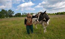 HOMSES MAALEHES: Tiskre lehmapidajale ei jää isegi pealinn ette
