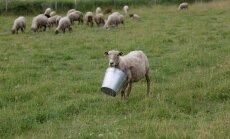 Palju makstakse lamba pealt toetust? Tutvu kõikide PRIA toetuste seekordsete määradega