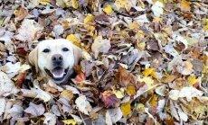 Värvikas VIDEO: Oh seda rõõmu! Vot see koer ei lase end sügisest heidutada!
