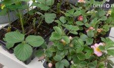 On aeg istutada maasikaid!