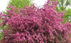 Tervendavate omadustega viirpuu on iga aia ehteks
