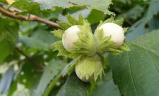 Kuidas valida ja kasvatada sarapuud, mis kaitseb nõiduse, välgu ja madude eest?