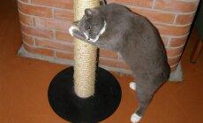 Kratsimispost peab olema küllalt kõrge, et kass saaks ennast täies pikkuses välja sirutada.
